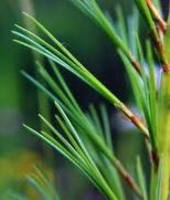 White_pine_needles